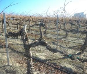 Pruned Yakima Valley Cabernet Sauvignon vine