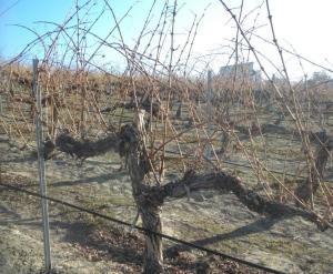 Unpruned Yakima Valley Cabernet Sauvignon vine