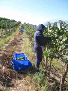 Picking Chardonnay, DuBrul Vineyard