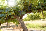1972 Cabernet Sauvignon Vine from Kestrel View Estates Vineyard