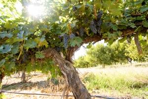 1972 Cabernet Sauvignon Vine from Kestrel View Estates Vineyard