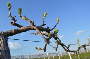 leafing out vine