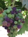 A Tempranillo cluster taken on Snipes Mtn. 7-14-2014